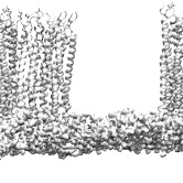 Braun's lipoprotein and cell wall